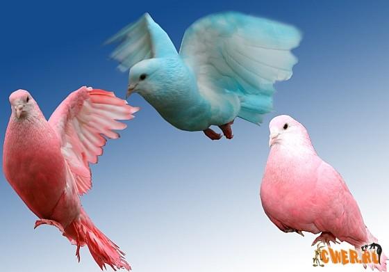 голуби фотографии: