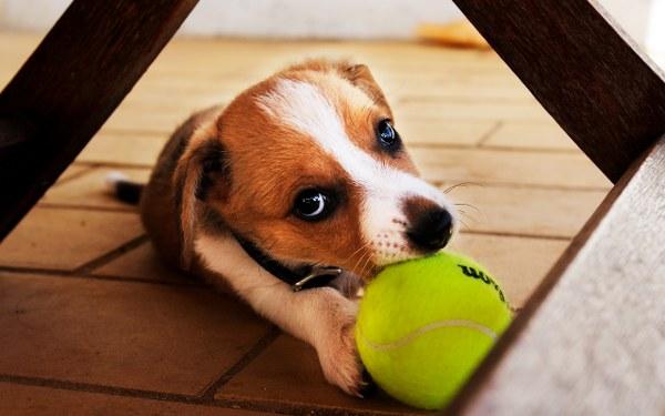 Собачка с теннисным мячиком.